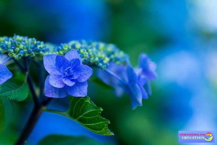 гортензия садовая посадка и уход в открытом грунте голубая