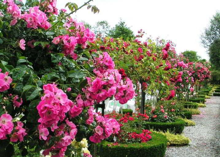 Гортензия садовая посадка осенью в открытом грунте