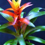 цветы комнатные цветущие фото и названия гузмания