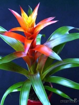гузмания уход в домашних условиях цветение