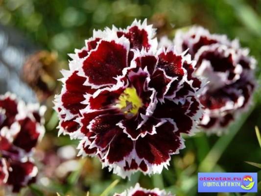 гвоздика китайская выращивание из семян фото