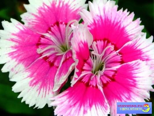 гвоздика китайская выращивание из семян на рассаду