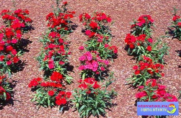гвоздика китайская выращивание из семян через рассаду