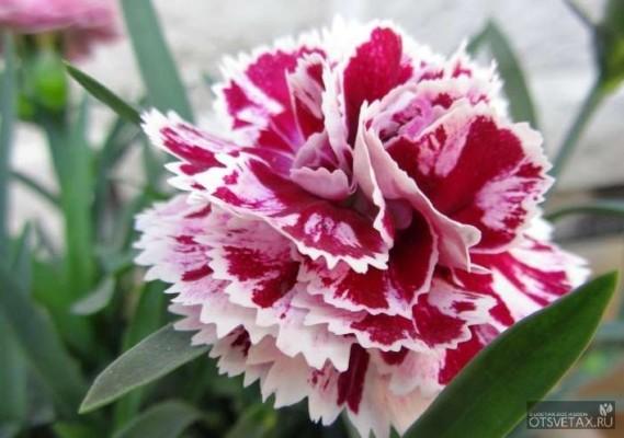 гвоздика садовая многолетняя посадка и уход фото болезни