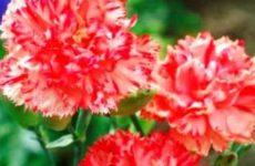 Гвоздика многолетняя садовая фото посадка и уход