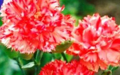 гвоздика садовая выращивание и уход фото