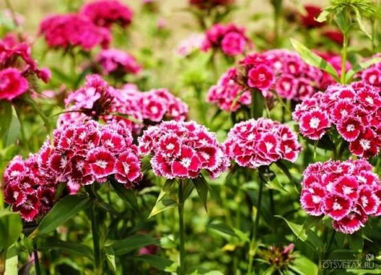 гвоздика садовая многолетняя посадка и уход фото