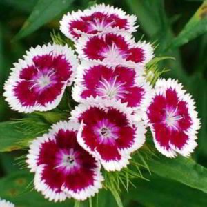 Гвоздика турецкая: выращивание из семян