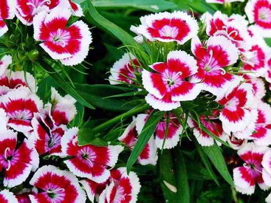 гвоздика турецкая выращивание из семян в домашних условиях