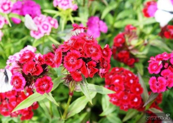 гвоздика турецкая садовая многолетняя посадка и уход фото