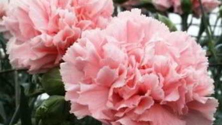 Гвоздика Шабо: как вырастить из семян в домашних условиях, когда сажать