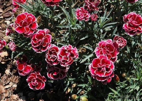 гвоздика садовая многолетняя посадка и уход фото где купить