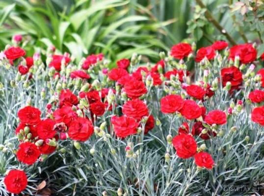 гвоздика садовая многолетняя посадка и уход фото когда сеять семена