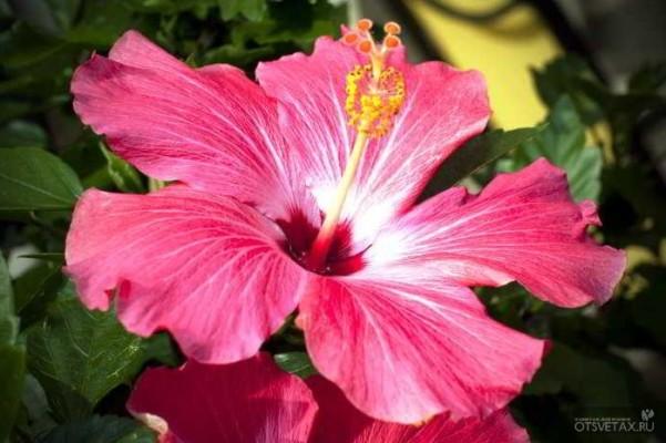гибискус садовый уход и размножение в домашних условиях