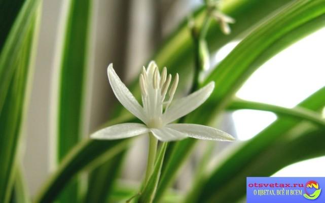 хлорофитум уход в домашних условиях виды