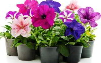 Цветущие комнатные цветы фотографии и названия