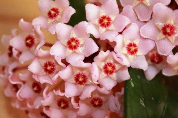 хойя уход в домашних условиях фото цветение