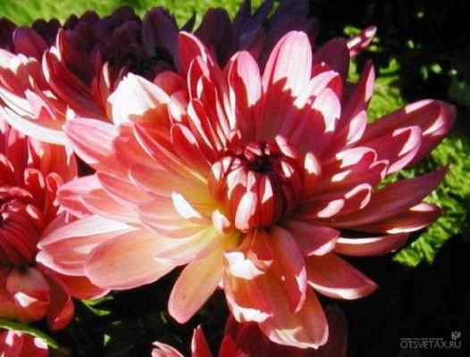 хризантема в горшке уход в домашних условиях размножение