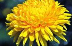 Хризантема многолетняя садовая посадка и уход фото цветка