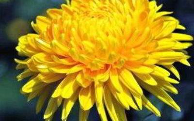 хризантема садовая многолетняя посадка и уход фото купить