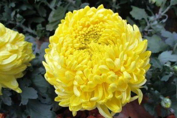 хризантема садовая многолетняя посадка и уход фото сорта
