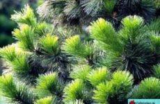 Хвойные растения для сада названия и фото