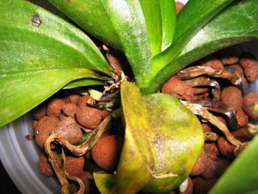 инфекционное заболевание орхидеи желтеют листья