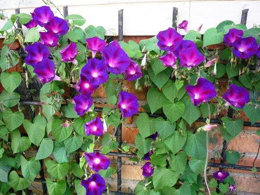 ipomeay-purpurnay в дизайне сада