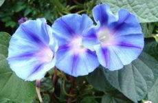 Ипомея: посадка и уход в открытом грунте, когда сеять семена фото