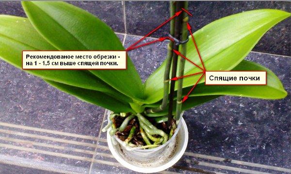 правильный уход за орхидеей в горшке