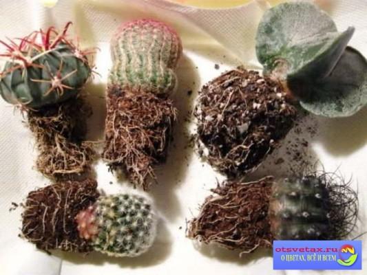 как пересадить кактус в домашних условиях пошагово