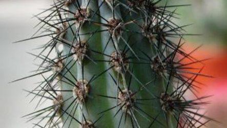 Как правильно пересадить в другой горшок кактус