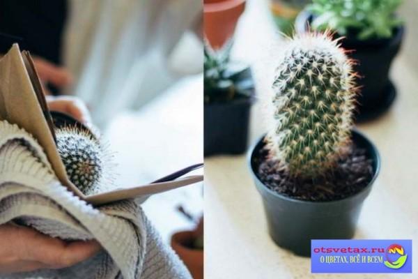 как пересадить кактус в другой горшок чтобы не уколоться