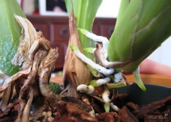 как пересадить цветущую орхидею в домашних условиях