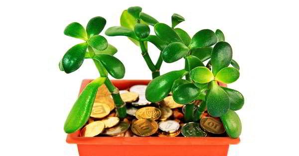 как правильно посадить денежное дерево чтобы в доме водились деньги