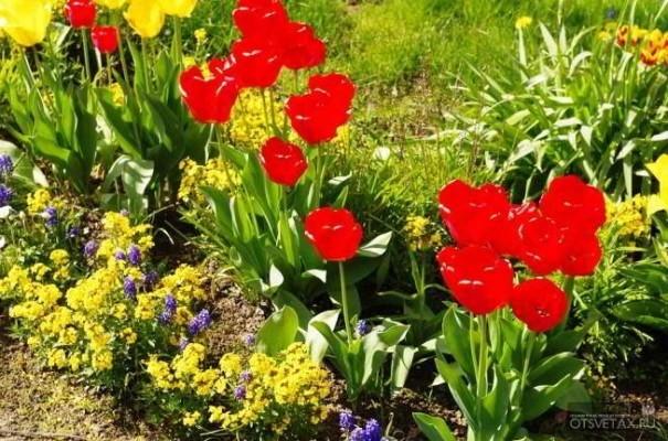 посадка тюльпанов осенью в грунт фото