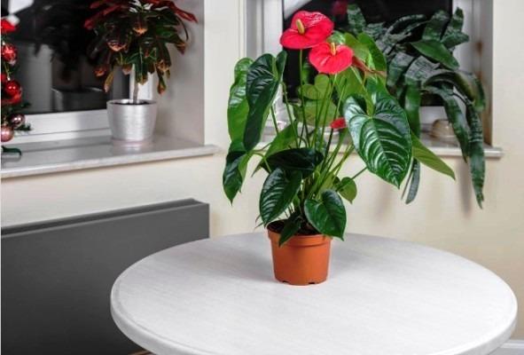 полив цветка антуриум