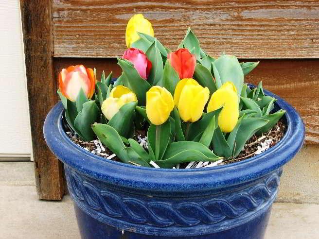 посадка тюльпанов осенью в подмосковье в в таре и на какую глубину