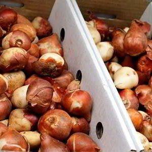 Как сохранить луковицы тюльпанов зимой