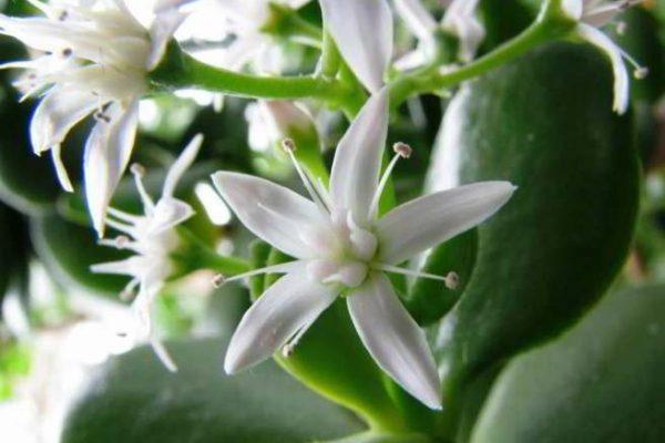 денежное дерево уход в домашних условиях цветение