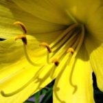 как цветет лилейник фото