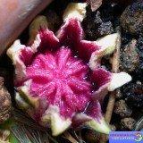 аспидистра фото цветение