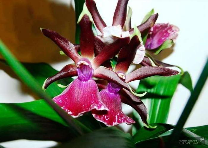 орхидея уход в домашних условиях фото обрезка