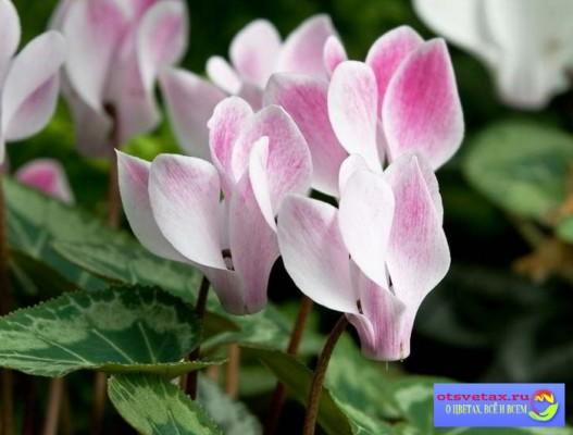 как ухаживать за цикламеном в домашних условиях после цветения видео