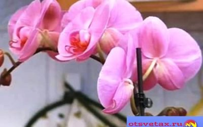 Как правильно выбирать орхидеи при покупке