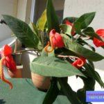 комнатный цветок антуриум фото
