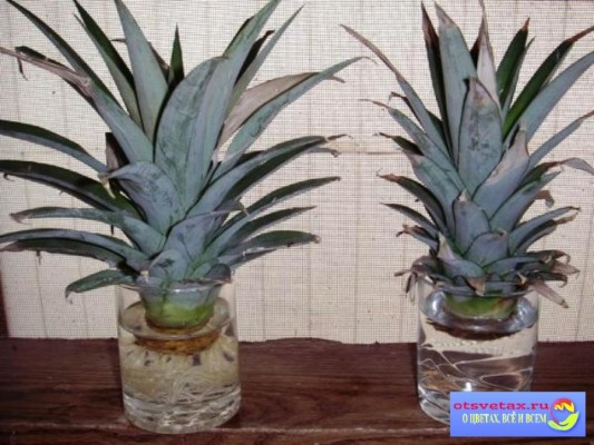 как вырастить ананас дома из верхушки пошагово