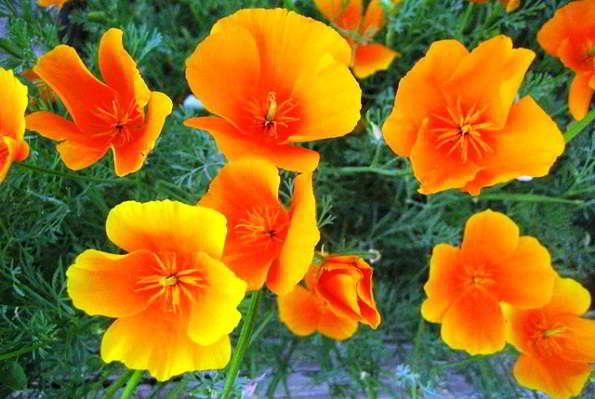 как вырастить эшшольцию из семян