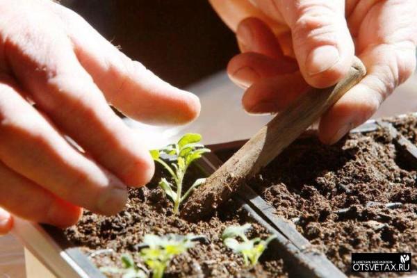 как вырастить петунию из семян в домашних условиях