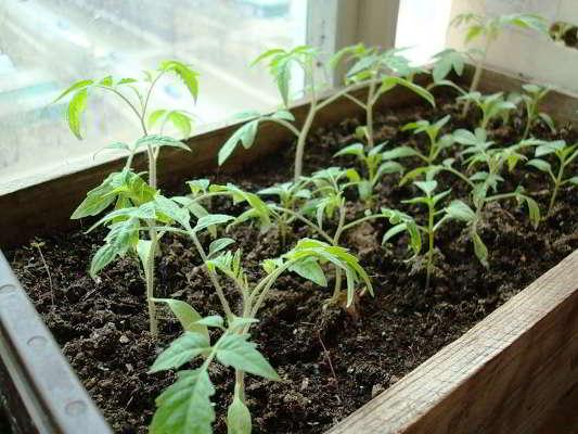 как вырастить крепкую рассаду помидор